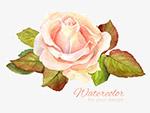 水彩粉色玫瑰