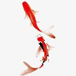 新年喜庆红锦鲤