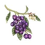 复古绘画蓝莓插画