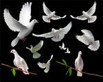 和平鸽图片