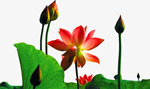 荷叶莲花植物