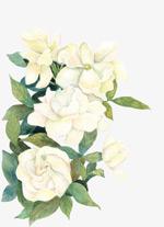 手绘白色牡丹花