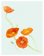 橙色的罂粟花