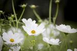 白色的花朵图片