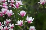 盛开的玉兰花图片