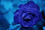 蓝色玫瑰图片