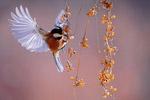 啄食浆果的鸟
