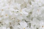白色丁香花