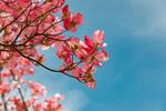 粉红色花枝