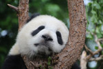树上睡觉的熊猫