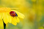 黄色花上的瓢虫