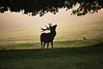 草地上的鹿