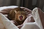 打呵欠的猫