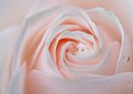 粉色玫瑰特写
