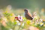 草丛里的小鸟