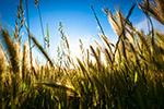 阳光下谷类植物