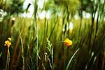草地小黄花
