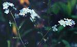 蓝色的花朵