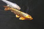 锦鲤摄影图片
