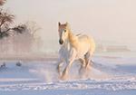 雪地奔跑的白马