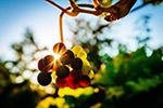 葡萄园日落