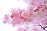 粉红色樱花