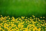 原野黄色的花
