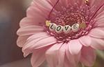 浪漫粉色非洲菊