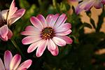 玛格丽特花朵