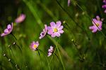粉红色的花朵