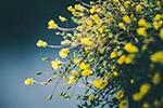 黄色盛开花朵