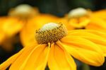 黄色花瓣特写