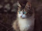 蓝眼睛宠物猫