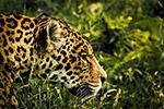 豹子的照片