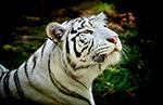 白色的老虎