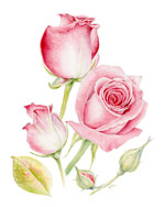 手绘梦幻玫瑰花