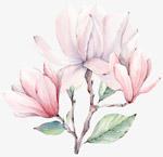 手绘粉色玉兰花