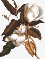白色花花枝手绘