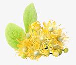 黄色的椴树花