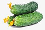 新鲜的大黄瓜