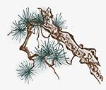 中国风水墨松树