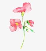 水彩酢酱花