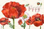 水彩红罂粟